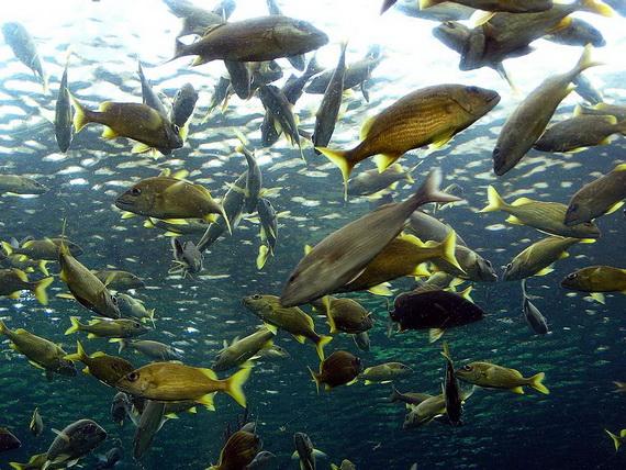 Риби вирізняються найбільшою кількістю видів з-поміж усіх хребетних тварин. Джерело: http://www.graphicshunt.com