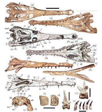 guarinisuchus-munizi-fossils_st_naturalist.jpg