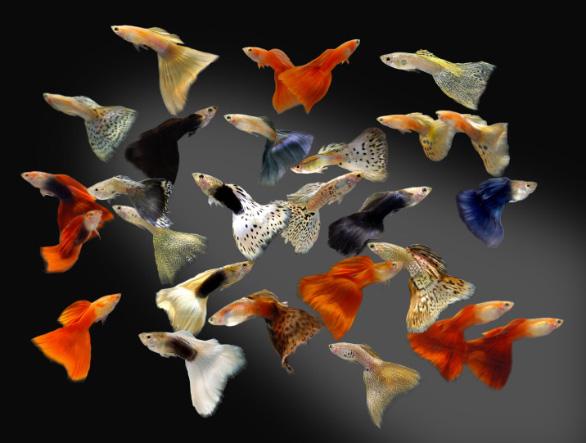 Самці гупі вражають різноманіттям своїх форм і кольорів