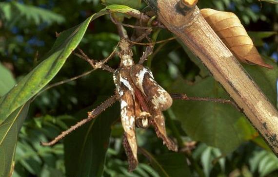 Різнокрил широкий (Нeteropteryx dilatata) маскується під всохлий листок