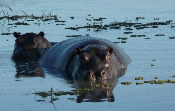 Звичними мешканцями дельти Окаванґо є Гіпопотами (Hippopotamus amphibius (Linnaeus, 1758). Джерело ілюстрації: http://www.panoramio.com