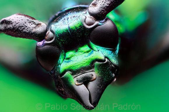 Чужинські інвазійні види комах уже