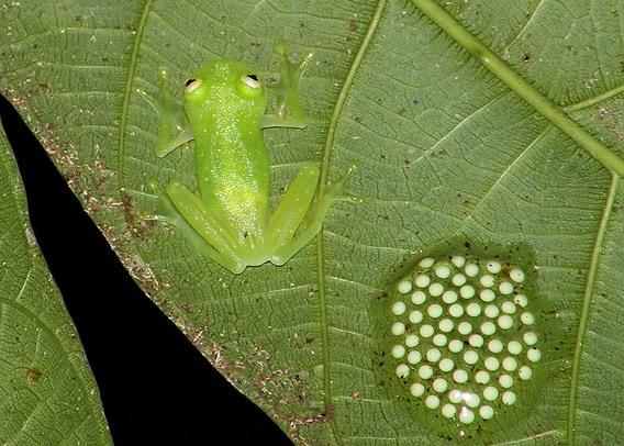 Доросла самка Гіалинобатрахіума (Hyalinobatrachium colymbiphyllum (Taylor, 1949) і кладка її яєць. Джерело: http://www.wikipedia.org
