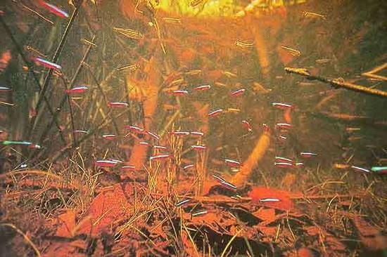 Неони червоні (Paracheirodon axelrodi) у природних умовах, як і більшість Харацинових, живуть у каламутних водах, де яскраве забарвлення дає змогу розпізнати своїх