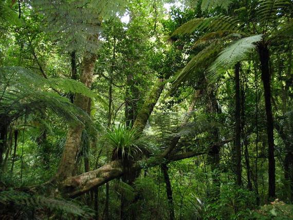 У цих лісах мало що змінилось із часів динозаврів, хіба от нестало самих динозаврів... Джерело: http://www.internationalcheesehead.com
