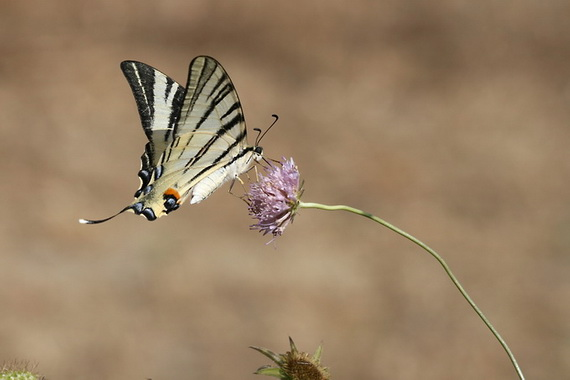Вітрильник-Іфіклід Подалірій (Iphiclides podalirius (Linnaeus, 1758). Джерело: http://www.biolib.cz