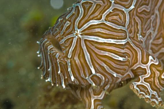 Риба-жаба психоделічна (Histiophryne psychedelica Pietsch, Arnold, et Hall, 2009). Джерело: http://www.frogfish.ch
