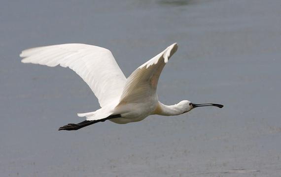 Косар блідо-рожевий у польоті. Джерело ілюстрації: http://www.naturfoto.cz