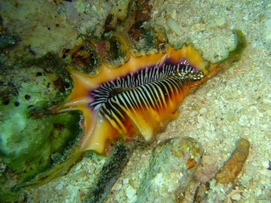 Лямбіс морський скорпіон (Lambis scorpio)