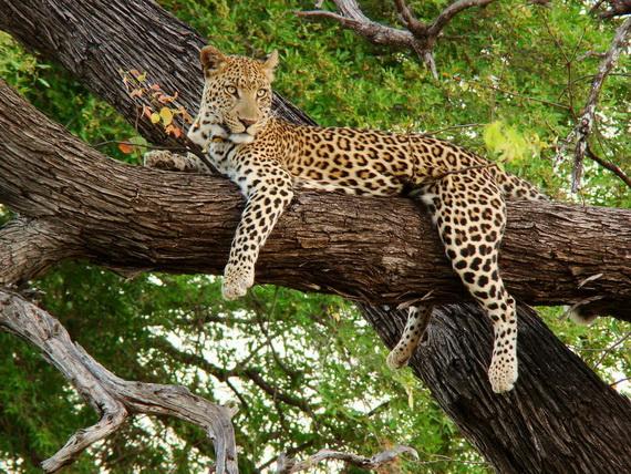 У прибережних лісах та чагарниках можна натрапити на Леопарда (Panthera pardus (Linnaeus, 1758). Джерело ілюстрації: http://www.panoramio.com
