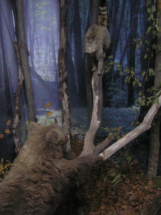 Ведмежа бурого ведмедя і лісовий кіт
