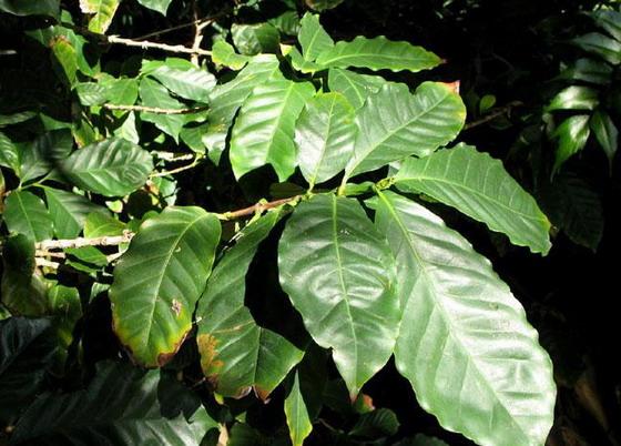 Листя Кавового дерева
