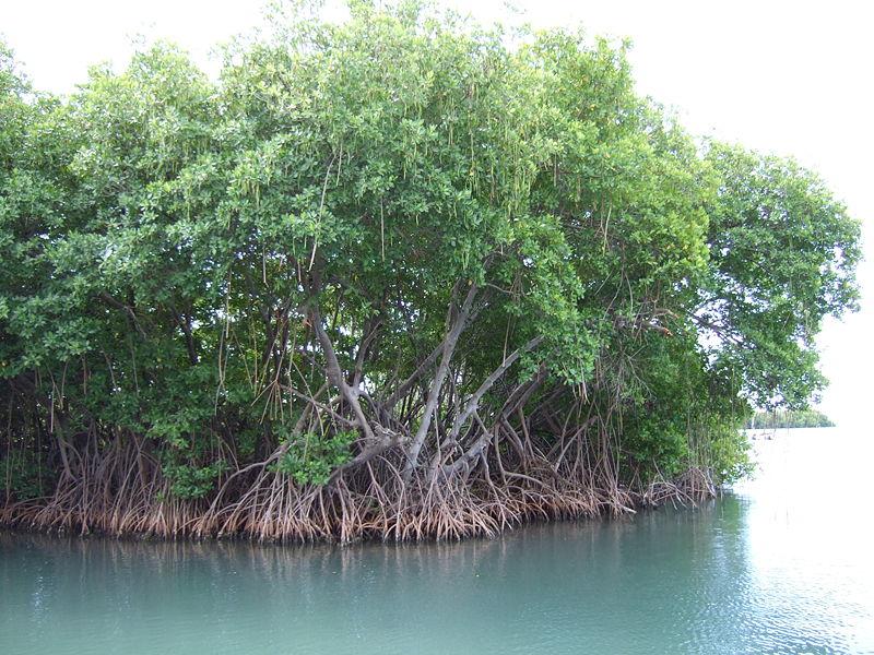 Екосистема манґрових лісів заселяє морські узбережжя тропіків
