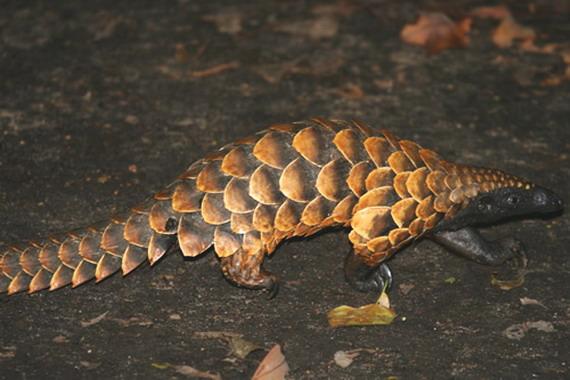 Панґолін довгохвостий або чотирипалий (Manis tetradactyla)