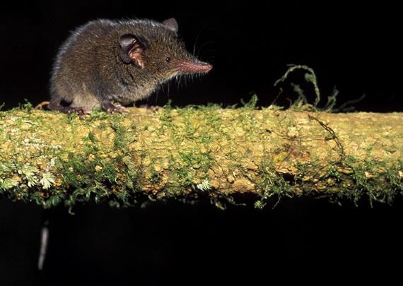 Землерийка-тенрек тавія (Microgale taiva) - один із численних видів тенреків. Джерело: http://www.uaf.edu