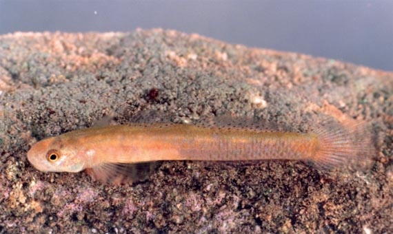 Стифодон меле (Stiphodon mele Keith, Marquet et Pouilly, 2009). Джерело: http://www.mnhn.fr