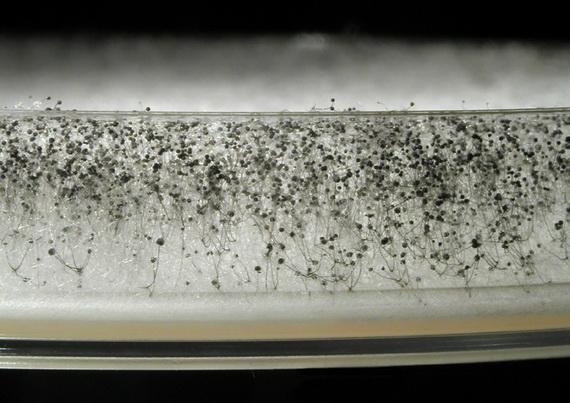 Біла пліснява або Мукор (Mucor pusillus Lindt 1886) - найпоширеніший цвілевий гриб. Поселяється на усіх субстратах і може викликати важкі захворювання - мукоромікози. Джерело: http://www.fnplzen.cz