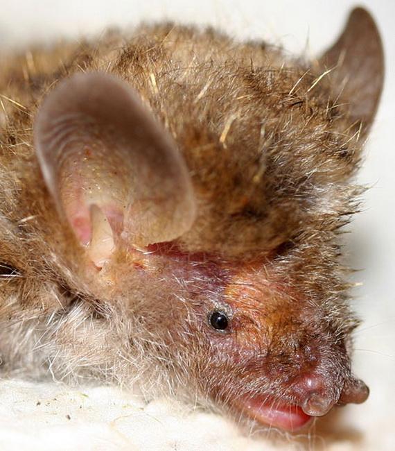 Трубконіс тендітний (Murina gracilis Kuo, Fang, Csorba et Lee, 2009) - новий вид кажанів описаний у 2009 році. Джерело:http://www.biobrisac.uk
