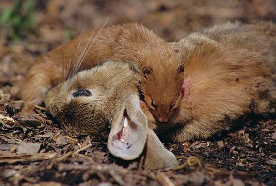"""Маленька ласка (Mustela nivalis Linnaeus, 1766) вагою всього 75 грам злегкістю здатна розправитись із трикілограмовим кролем! Вона перекушує сонну артерію, випиваючи кров, що витікає з рани. Точнісінько як і міфічна """"чупакабра""""..."""