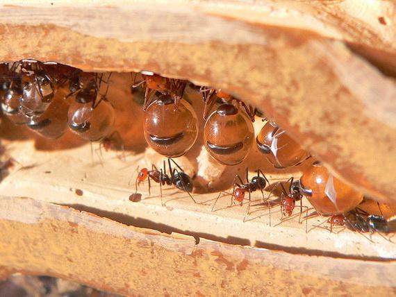 Колонія Медових мурах (Мyrmecocystus sp.). Джерело: http://www.en.wikipedia.org