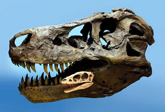 Співставлення черепів Тиранозавра королівського - позаду, і Рапторекса Креґштейна. Джерело: http://www.news.nationalgeographic.com