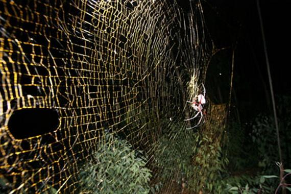 Велетенська павутина павука-шовкопряда Нефіли. Джерело: http://www.news.bbc.co.uk