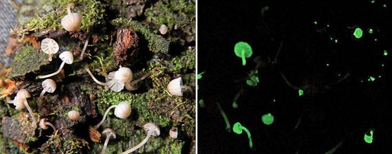 Міцена горбконіжкосвітна (Mycena luxarboricola) - також новий вид грибів. Джерело ілюстрації: http://www.news.nationalgeographic.com