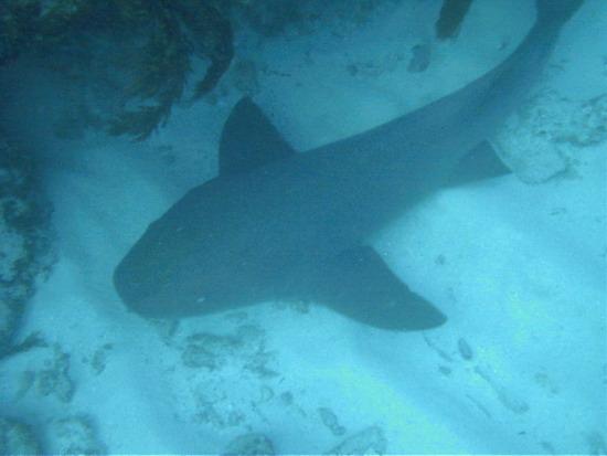 Сучасна акула-нянька (<em>Ginglymostoma cirratum</em>)