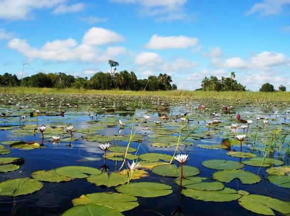 Вод каналів і стариць густо вкриті листям і квітами Латаття синього (Nymphaea caerulea Savigny). Джерело ілюстрації: http://www.afrikaalacarte.de