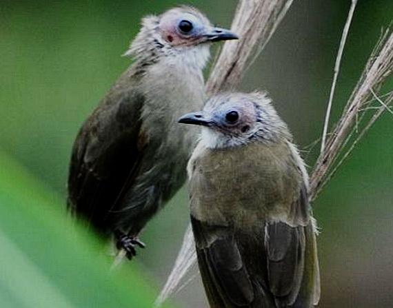 Дослідники виявили чисельну популяцію Бульбуля гололицого. Джерело: http://www.orientalbirdimages.org