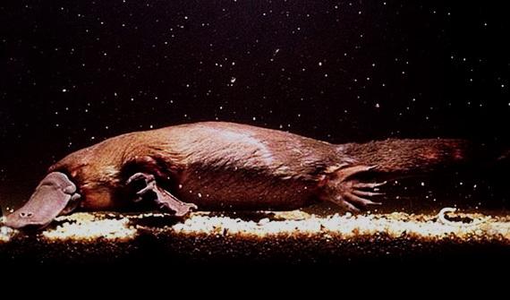 Качкодзьоб у Сіднеївському зоопарку. Джерело: http://www.dinosoria.com
