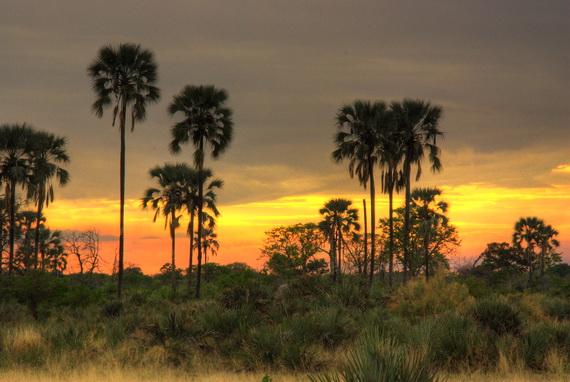 Рідколісся із Фініковою пальмою (Phoenix reclinata Jacq.). Джерело ілюстрації: http://www.panoramio.com