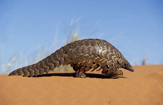 Панґолін Темінського (Manis temminckii) у Прикордонному парку Калаґаді, пустеля Калахарі, Південна Африка