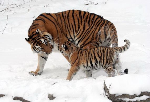 Тигр амурський (Panthera tigris altaica Temminck, 1844)