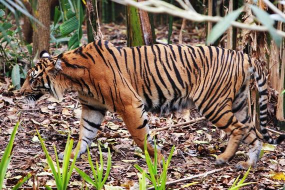 Тигр суматранський (Panthera tigris sumatrae Pocock, 1929)