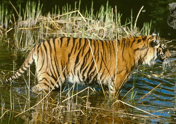Тигр бенґальський (Panthera tigris tigris (Linnaeus, 1758)
