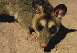 philander-opossum_st_naturalist