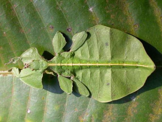 Листковик двоокий (Рhyllium bioculatum)