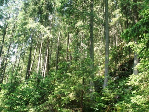 Смерековий ліс (світлина Андрія М. Замороки)