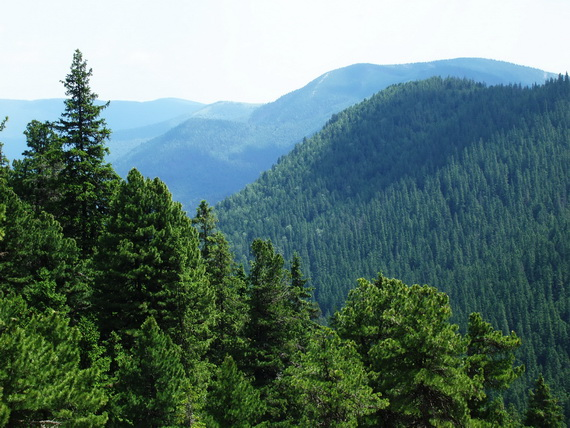"""Найбільш цінними екосистемами заповідника """"Ґорґани"""" є ліси утворені Сосною кедровою європейською - реліктом третинного періоду. Джерело ілюстрації: Руслан Жирак."""