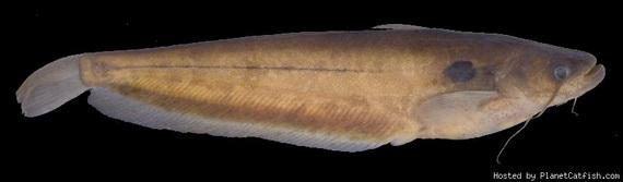 Омпок вузькоротий (Ompok brevirictus Ng et Hadiaty). Джерело: http://www.planetcatfish.com
