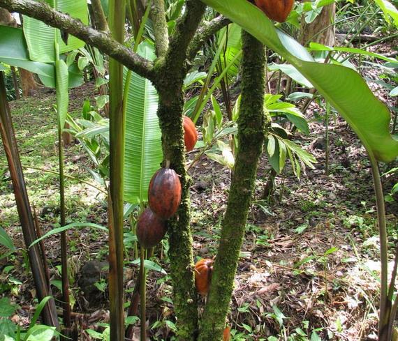 Спілі плоди какао на дереві