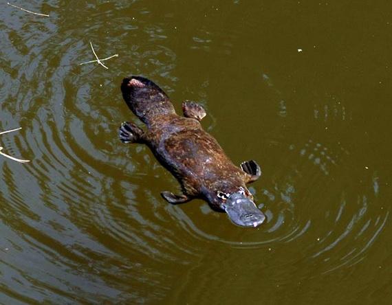Качкодзьоб у природній водоймі Квінслендського національного парку. Джерело: http://www.olsvik.info