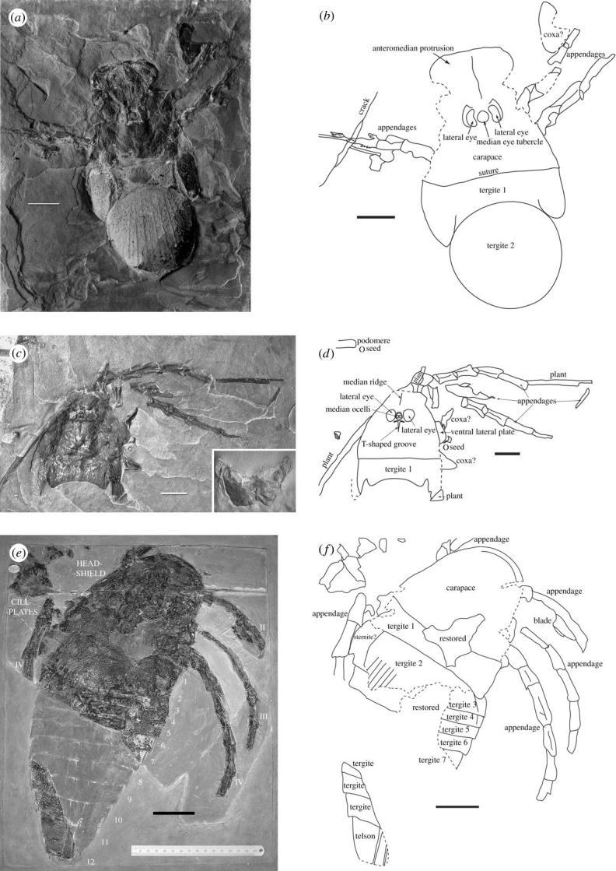 Порівняння двох відбитків Меґарахна Сервінея (вгорі) та Вудвардоптеруса шершавого (внизу)