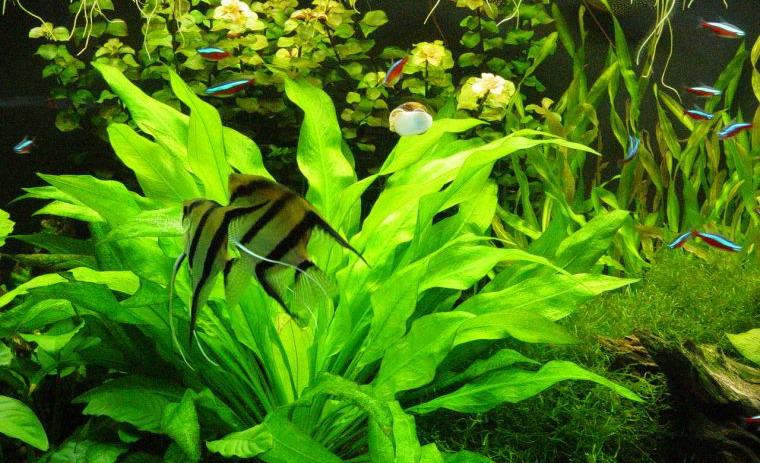 Скалярії в акваріумі