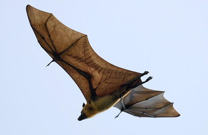 pteropus_giganteus_st_naturalist