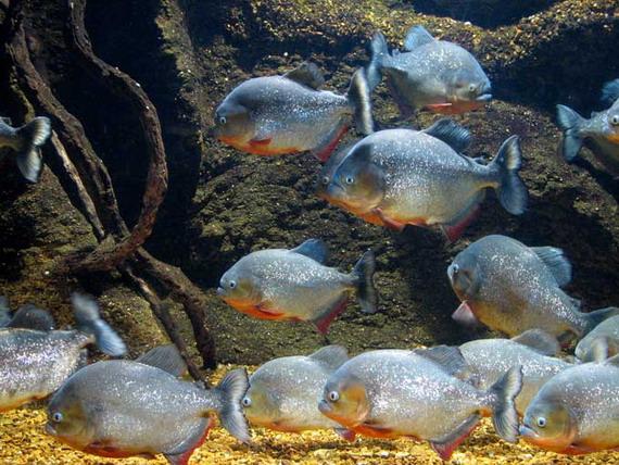 Найчастіше у акваріумах утримують Піранію червону (Pygocentrus nattereri Kner, 1858) джерело: http://www.dinosoria.com
