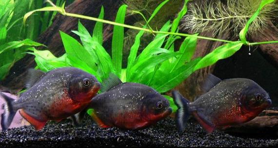 Піранії в акваріумі - джерело: http://www.piranhas-fr.com