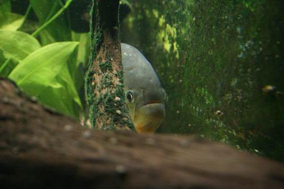 Піранії часто ховаються у заростях рослин, виставивши лише голову. джерело: http://www.piranhas-fr.com