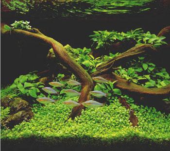 Акваріум із веселковими рибками